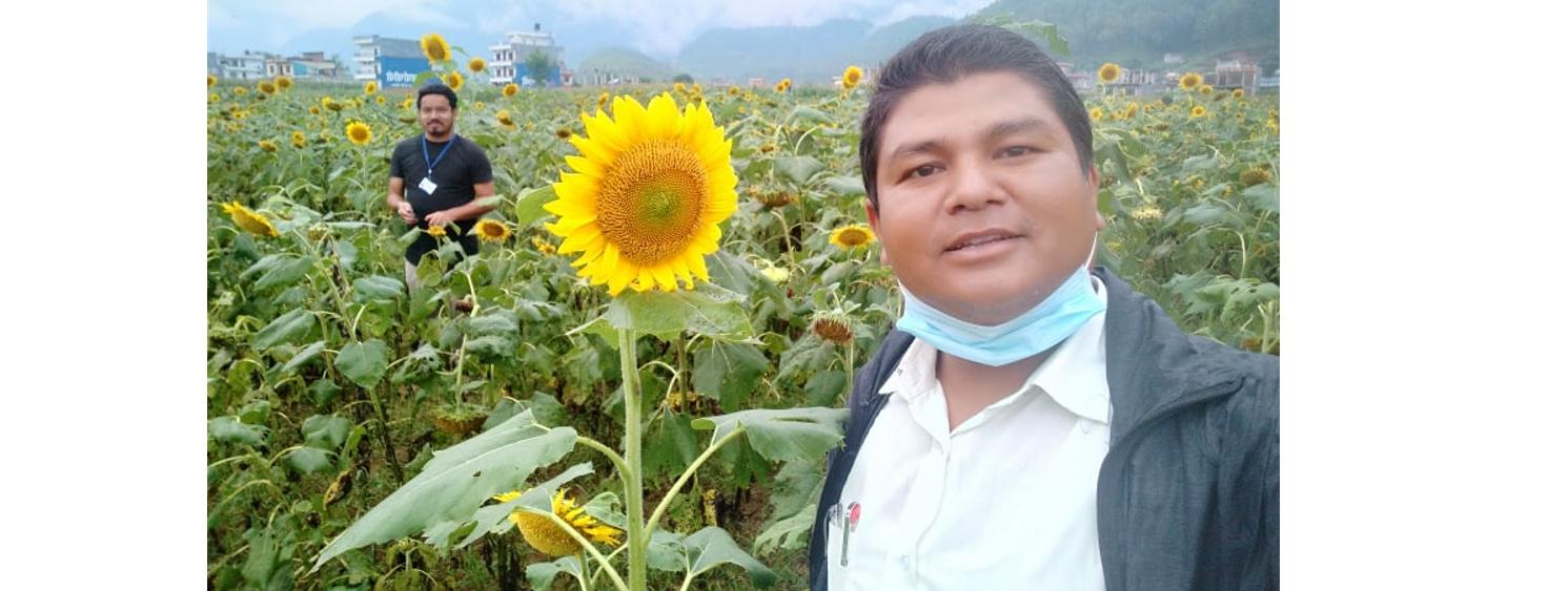 Sunflower in Rampur